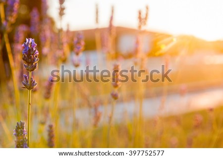 Lavender in sunset.Close-up of Lavender. The image has shallow DOF. - stock photo