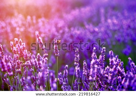 lavender in sunset flare - stock photo