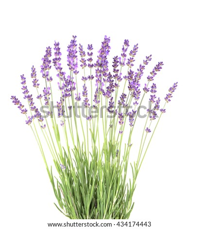 Lavender in the interior. blooming lavender. Provence Interior. Lavender on a white wall. - stock photo