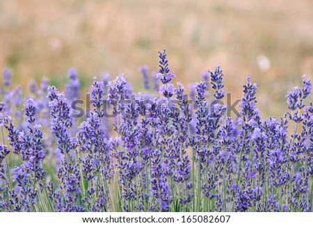Lavender is a beautiful aroma flower in herbal medicine. Lavender flowers on the field. Lavender blossoms in summer - agricultural landscape. - stock photo