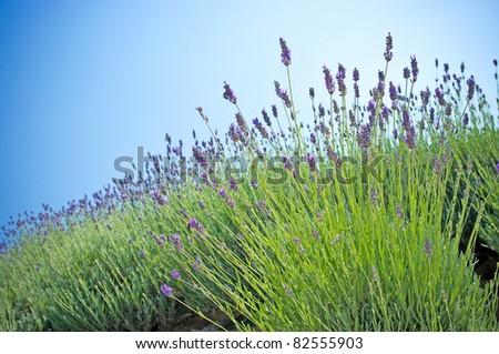 Lavender plant - stock photo