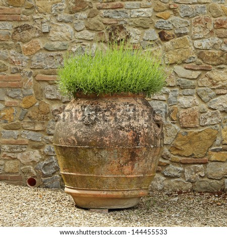 lavender plant in antique big vase in Tuscany, Italy, Europe - stock photo