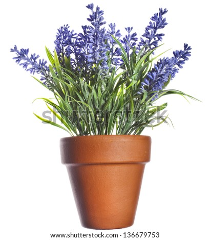 Lavender plant in pottery terracotta clay pot  isolated on white background - stock photo