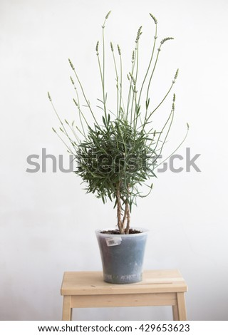 Lavender pot in the interior. blooming lavender. Interior Provence - stock photo