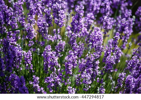 Lavender. Selective soft focus - stock photo