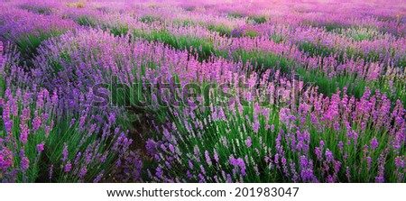 Lavender texture. Composition of nature. - stock photo