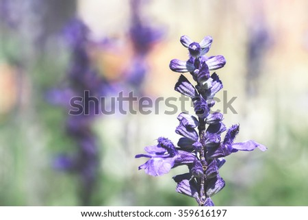 lavender vintage tone - stock photo