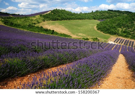 Lavener fields in Provence - stock photo