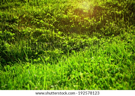 Lawn with blooming green grass in the sun. - stock photo