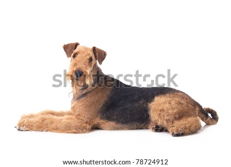 Laying dog Airedale Terrier looking up on the white background. - stock photo
