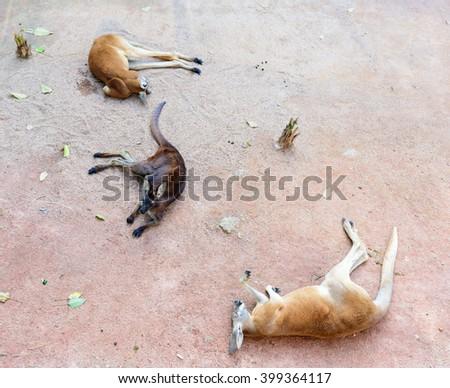 laying down kangaroo - stock photo