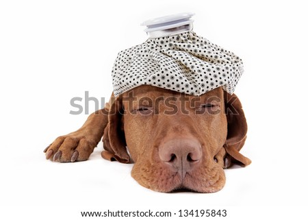 laying golden pure breed dog with ice bag on its head on white background - stock photo