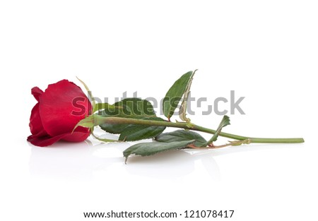 Laying red rose. Isolated on white background - stock photo