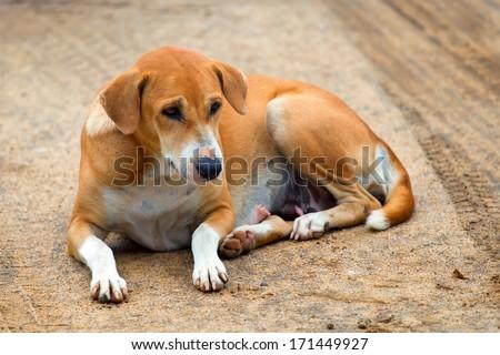 Laying stray dog - stock photo