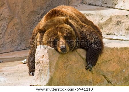 Lazy Bear - stock photo
