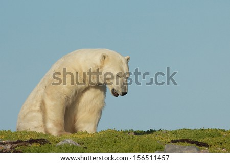 Lazy Canadian Polar Bear waking up on a grass patch in the arctic tundra of the Hudson Bay near Churchill, Manitoba in summer - stock photo