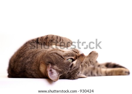 Lazy cat, isolated with copy space - stock photo