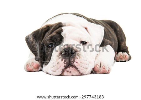 Lazy english bulldog puppy being lazy with eyes open at a white background - stock photo