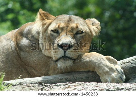 lazy lioness - stock photo
