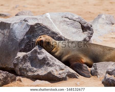 Lazy lying brown fur seal (Arctocephalus pusillus) - stock photo
