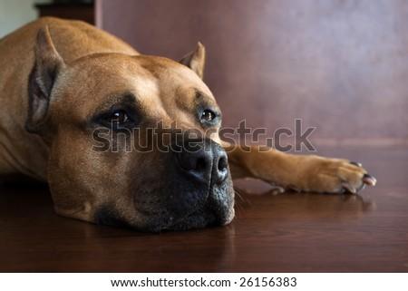 lazy pit bull - stock photo
