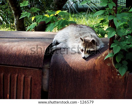 Lazy Raccoon - stock photo