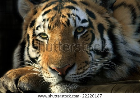 Lazy Tiger - stock photo