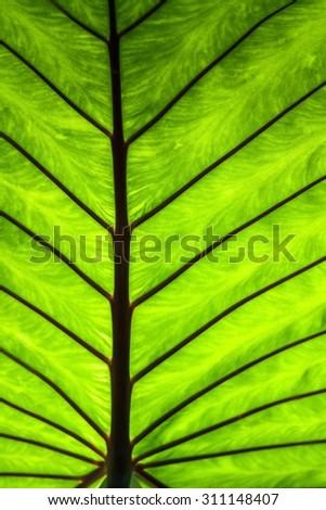 leaf -banana leaf - stock photo