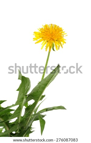 Leaf, bud and flower of dandelion (Taraxacum officinale), isolated in front of white background - stock photo