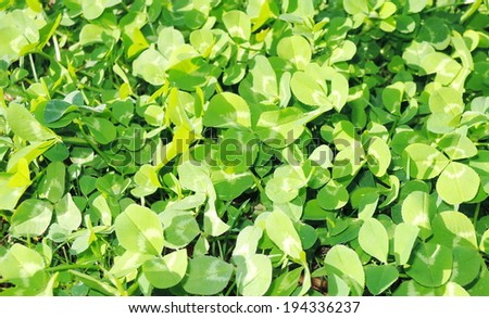 leaf clovers - stock photo