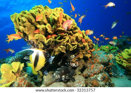 Leaf Coral and Bannerfish,Lionfish,Grouper and Anthias - stock photo
