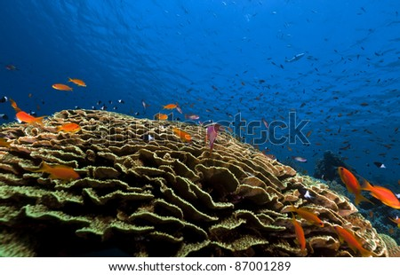Leaf coral and tropical underwater life in the Red Sea. - stock photo