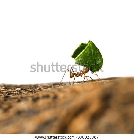 Leaf-cutter ant, Acromyrmex octospinosus, carrying leaf piece on tree log. Isolated on white background. - stock photo
