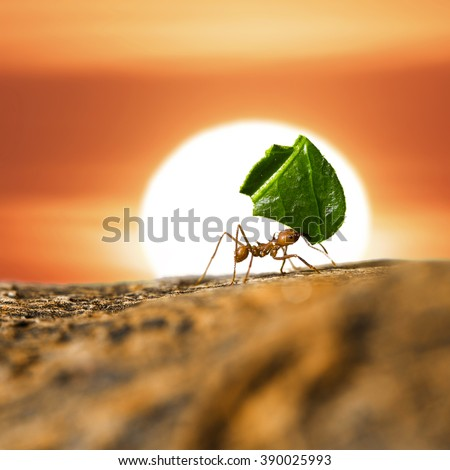 Leaf-cutter ant carrying leaf piece on tree log on sunset sky background. - stock photo