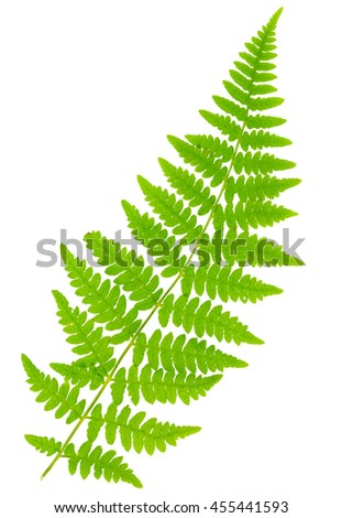 leaf fern isolated on white background in macro lens shooting - stock photo