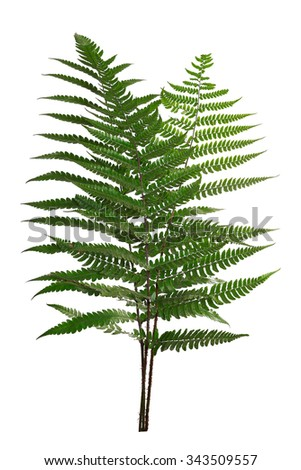 Leaf fern isolated on white background of close-up - stock photo