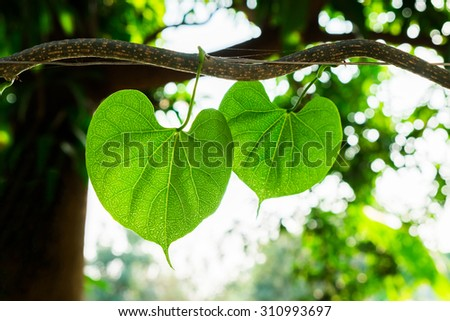 Leaf heart soft vine ivy natural  - stock photo