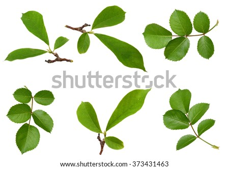 leaf isolated on a white background  - stock photo