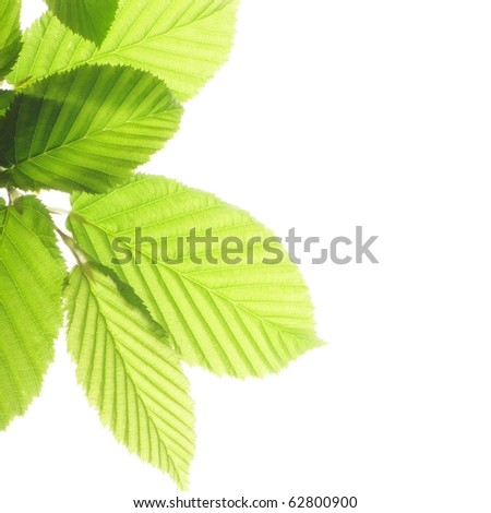 leaf isolated on white background with copyspace - stock photo
