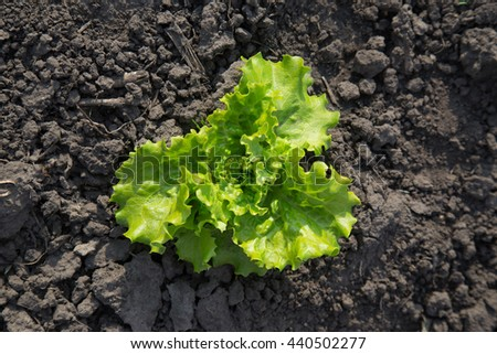 Leaf lettuce organic salad grows at the Authentic farm series. - stock photo