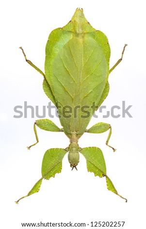 leaf mantis isolated on white background - stock photo