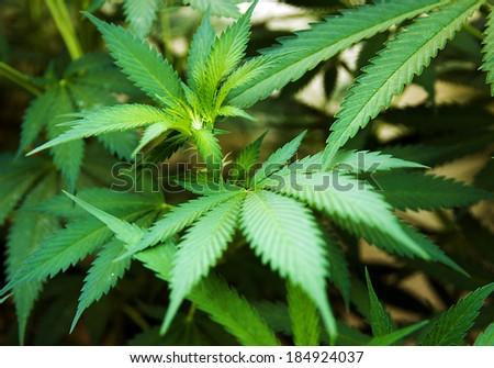 leaf marijuana in cannabis plant background - stock photo