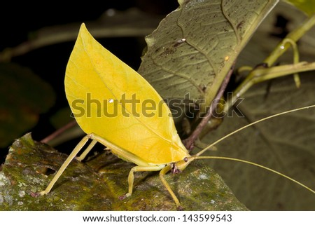 Leaf Mimic Katydid in the rainforest understory, Ecuador - stock photo