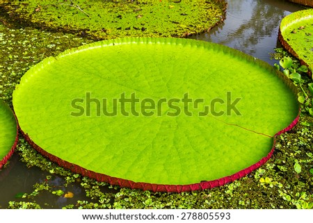 Leaf of a Victoria Amazonica or Victoria Regia, the largest aquatic plant in the world in the Amazon Rainforest in Peru - stock photo