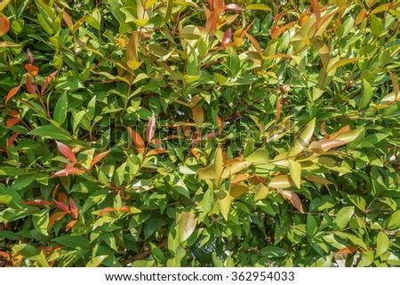 Leaf of Australian Rose Apple tree background - stock photo