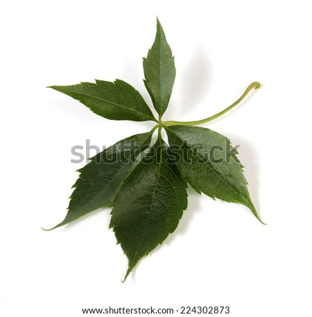 Leaf of bindweed on the white background - stock photo
