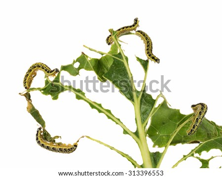 Leaf of cabbage eaten by caterpillars of the large white butterfly (Pieris brassicae) - stock photo