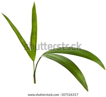 Leaf of Chrysalidocarpus lutescens palm tree  close up isolated on white - stock photo