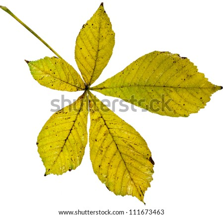 Leaf of horse chestnut tree (Aesculus hippocastanum) on a white background - stock photo