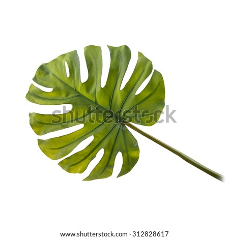 Leaf of Monstera plant isolated on a white - stock photo